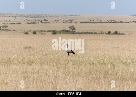 Secretarybird or secretary bird in the savannah of Kenya,  Africa - Stock Photo