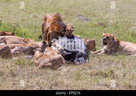 Lions Feeding - Stock Photo
