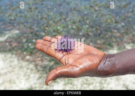 sea hedgehog lays on a man's hand - Stock Photo