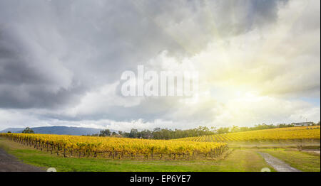 Endless rows of vines at Vineyard in Yarra Valley, Victoria, Australia in autumn - Stock Photo