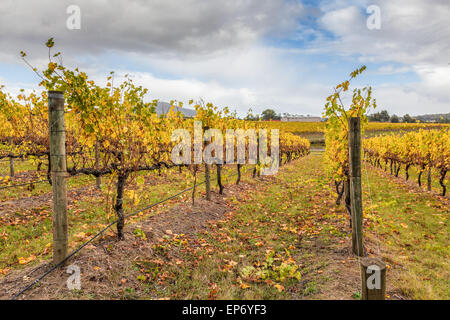 Vineyard in Yarra Valley, Victoria, Australia in autumn - Stock Photo