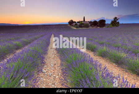 Lavender field at sunset in Valensole, Provence, France - Stock Photo