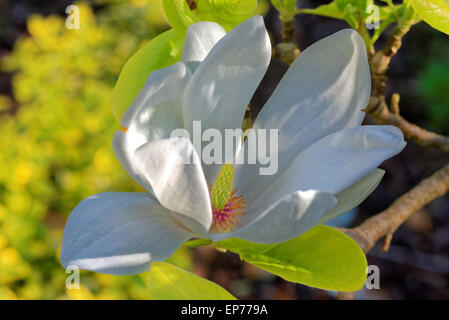 Magnolia is a large genus of about 210 flowering plant species in the subfamily Magnolioideae of the family Magnoliaceae - Stock Photo
