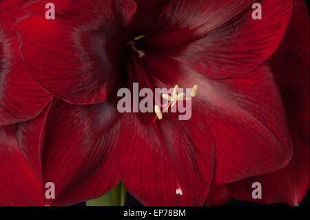 close up of dark red amaryllis with yellow stamens - Stock Photo