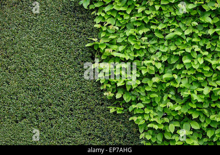 clipped yew hedge and green leaves in garden - Stock Photo