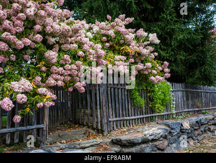 Pink flowering Hydrangea shrub garden border, old vintage wooden picket fence row on a stone wall, in Woodstock, - Stock Photo