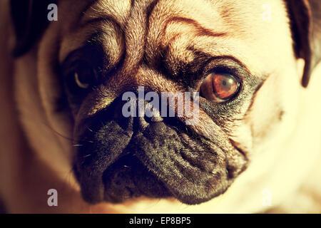 Close up face of Cute pug puppy dog looking sad, sunshine, Sleep packground - Stock Photo