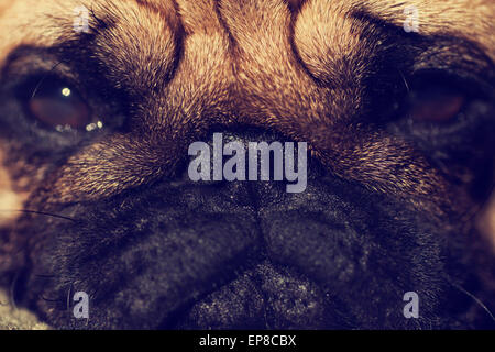Close up face of Cute pug puppy dog looking at us, sunshine, Sleep packground - Stock Photo
