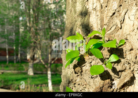 New fresh green summer shoots grow from the bark of an established tree - Stock Photo