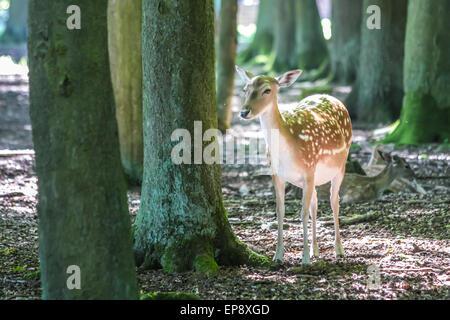Young fallow deer (Dama dama) in the Deer Park at the hunting lodge Niederwald, Ruedesheim in the Rheingau, Hesse, - Stock Photo