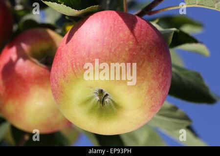 Reifer Apfel auf einem Apfelbaum im Herbst - Stock Photo