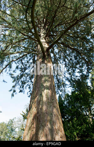 Sequoiadendron giganteum. Looking up a Giant Redwood tree trunk. Scotland - Stock Photo