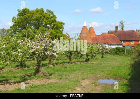 Apple Blossom and Oast Houses, Kent, England, Britain, UK - Stock Photo