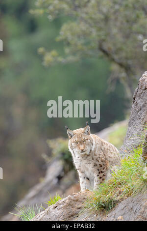 Eurasian lynx (Lynx lynx), sitting on a rock, looking at camera, Cabarceno Natural Park, Cantabria, Spain - Stock Photo