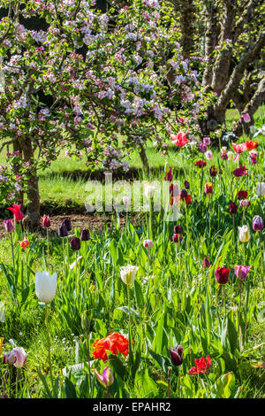 Tulips beneath blossoming apples trees in the wallled garden at Bowood House in Wiltshire. - Stock Photo
