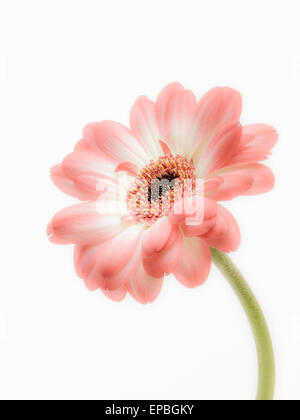 Single Daisy - Stock Photo
