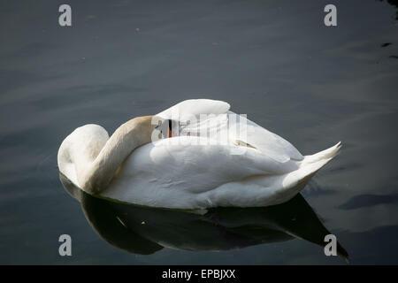 London, UK. 15th May, 2015. Swan on Canada Water Pond Credit:  Guy Corbishley/Alamy Live News - Stock Photo
