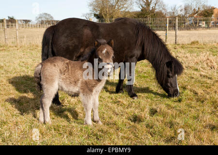 A cute two day old Shetland Pony foal with his mother - Stock Photo