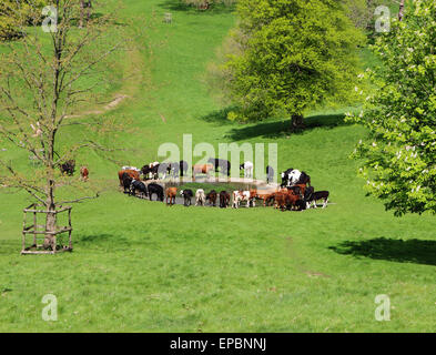 Cattle drinking from a pond in an English Park in early Summer - Stock Photo