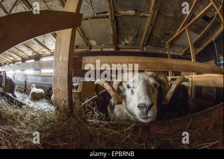 Icelandic sheep and rams in a rural farm barn loking into the camera with a fisheye lens - Stock Photo