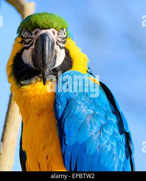 Gold and blue Macaw Parrot  looking intensely at camera - Stock Photo