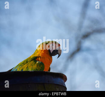 Gold and blue Macaw Parrot sitting on a barrel - Stock Photo