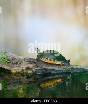 Florida Cooter Turtle On A Log - Stock Photo