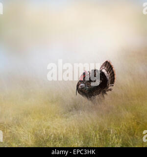 Turkey Male In A Field - Stock Photo