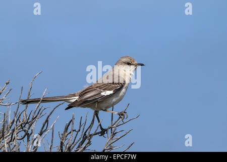 northern mockingbird, mimus polyglottos - Stock Photo