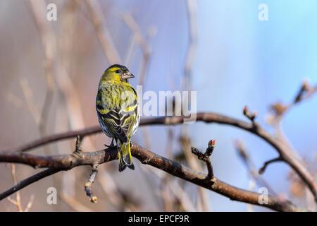 eurasian siskin, carduelis spinus - Stock Photo