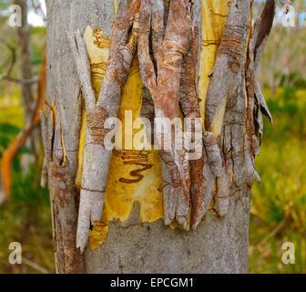 Scribbly Gum (Eucalyptus racemosa), Barrington Tops National Park, New South Wales, NSW, Australia - Stock Photo