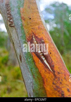 Scribbly Gum (Eucalyptus racemosa), Barrington Tops National Park, New South Wales, Australia - Stock Photo