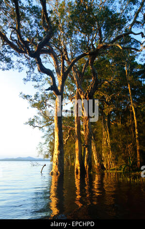 Gum Trees growing in the water, Myall Lakes, New South Wales, NSW, Australia - Stock Photo