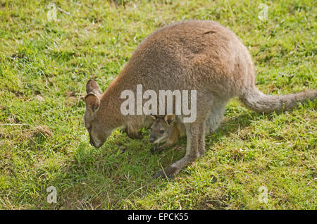 RED-NECKED or BENNETT'S WALLABY, Macropus Rufogriseus, with Young, Australia, Tasmania, - Stock Photo