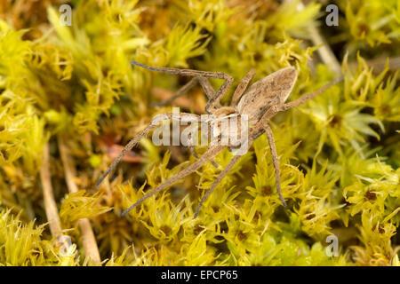 Nursery web spider, Pisaura mirabilis, a hunting spider.  Cumbria - Stock Photo
