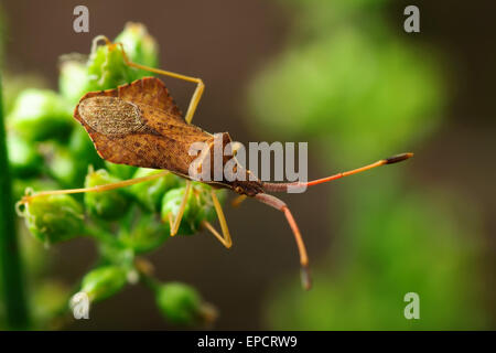 Brown beetle on a green stem. Blurred natural background, close-up - Stock Photo