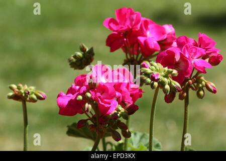 Pink geranium flowers and buds in summer season - Stock Photo
