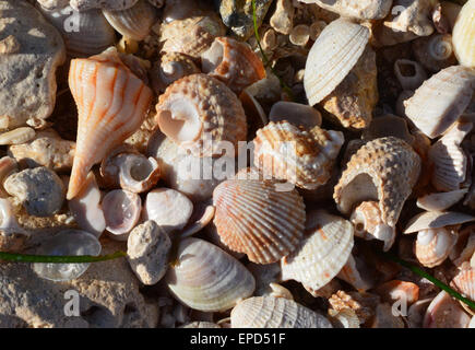 Beautiful sea shells collected on the shore. Taken at Honeymoon Island, Florida USA - Stock Photo