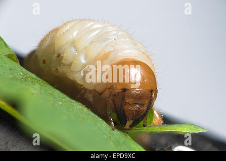 melolontha larva. The cockchafer (May bug) is a European beetle of the genus Melolontha