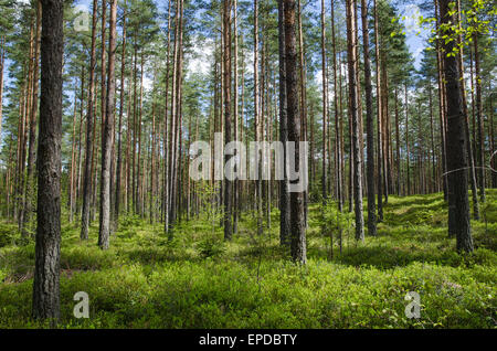 Spring colors on the ground in a bright coniferous forest - Stock Photo