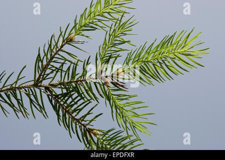 Common Spruce, Christmas Tree, Gewöhnliche Fichte, Rot-Fichte, Rotfichte, Picea abies, Nadeln, Blätter, Blatt - Stock Photo