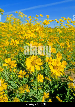 A field of camphorweed, or false goldenaster, Heterotheca subaxillaris, growing along side the highway near the town of Chama, New Mexico