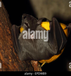 Egyptian fruit bat rousettus aegyptiacus cave wing - Stock Photo