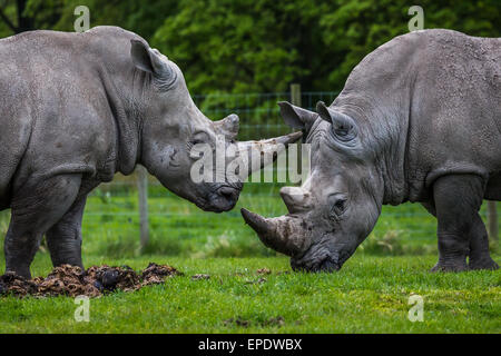 Two white rhino's together near Liverpool. - Stock Photo