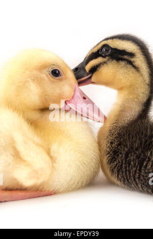 American pekin duckling and  in studio shot photo. This yellow duckling is domesticated for egg production - Stock Photo