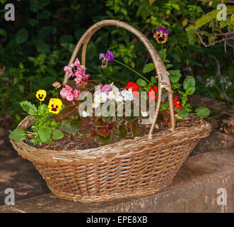 Large recycled wicker basket with flowering plants growing in it - yellow and purple pansies & red, pink, & white - Stock Photo