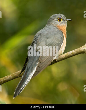 Australian fan tailed cuckoo, Cacomantis flabelliformis, in the wild perched on small branch and against light green - Stock Photo