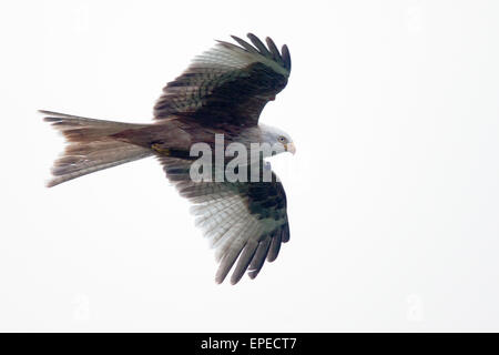 Red Kite in flight, a leucistic, wing-tagged individual, Rhayader, Wales, UK. - Stock Photo