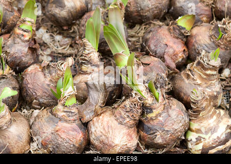 Amaryllis Bulbs on sale at a Dutch market stall - Stock Photo
