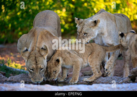 Lions (Panthera leo), lionesses with cubs, four months, at the water, drinking, Tswalu Game Reserve, Kalahari Desert - Stock Photo